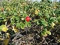 Rosa rugosa fruit (54).jpg