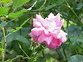 Rosa sp.19.jpg
