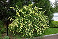 Rosa xanthina - Morris Arboretum - DSC00211.JPG
