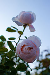 Rose, St. Cecilia - Flickr - nekonomania (1).jpg