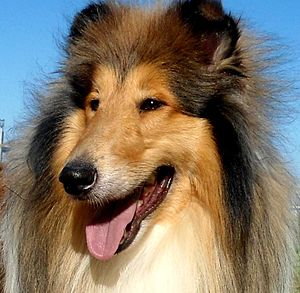 Rough Collie - Rough Collie