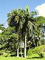Roystonea borinquena - San Juan Botanical Garden - DSC07039.JPG