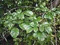 Rubus australis 11.JPG