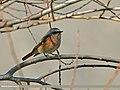 Rufous-backed Redstart (Phoenicurus erythronotus) (27649842622).jpg