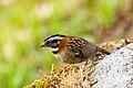 Rufous-collared Sparrow - Correporsuelo (Zonotrichia capensis) (11847264296).jpg