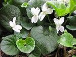 Ruhland, Grenzstr. 3, Duftveilchen im Garten, weiß blühend, Frühling, 02.jpg