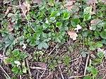 Ruhland, Grenzstr. 3, Duftveilchen im Garten, weiß blühend, Frühling, 05.jpg