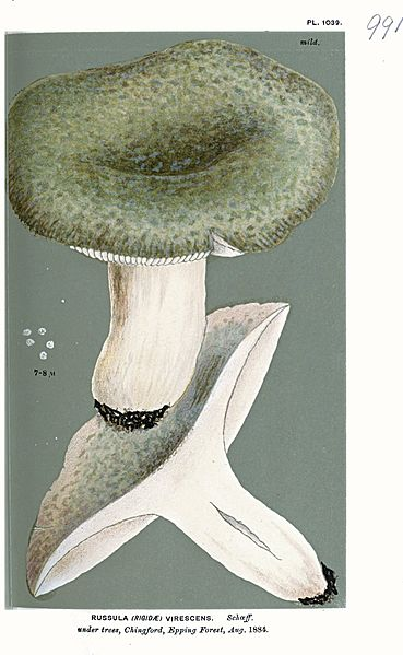 File:Russula virescens-Cooke.jpg