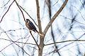 Rusty blackbird (25215165071).jpg