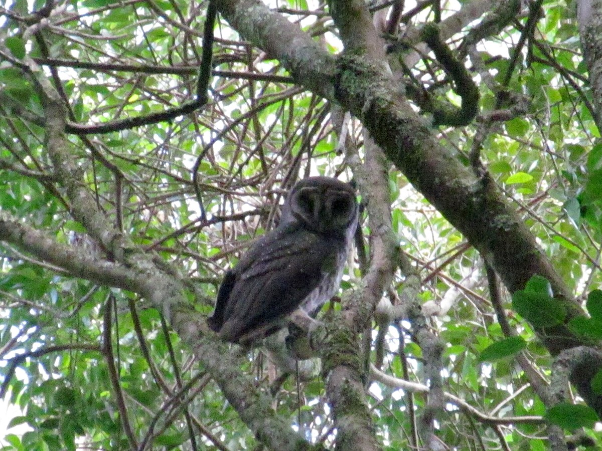 Greater sooty owl - Wikipedia