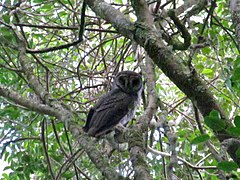 SOOTY OWL @ SCRUBBY CREEK 21APRIL15 (2).JPG