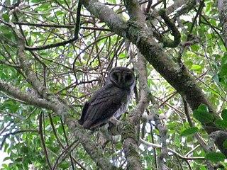 Greater sooty owl species of bird