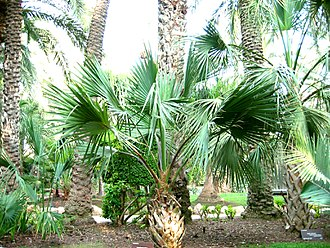 Wildlife of Bermuda - Bermuda palmetto