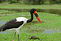 Saddle-billed Stork (Ephippiorhynchus senegalensis) male (16764373871).jpg