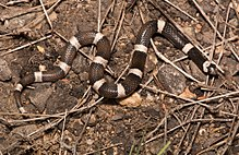 Saddled Leaf-nosed Snake (Phyllorhynchus browni fortitus).jpg