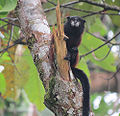 Saguinus fusicollis, the Sandle-back Tamarin (12869757114).jpg