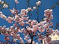 Saint Petersburg. Chinese Garden. Sakura tree2014 12.jpg