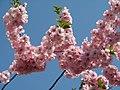 Saint Petersburg. Chinese Garden. Sakura tree2021 15.jpg