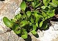 Salix herbacea 2 RF.jpg