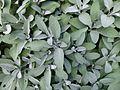 Salvia officinalis serres du Luxembourg.jpg