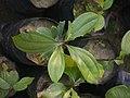 Sapling Cinnamomum bejolghota P1140258 02.jpg