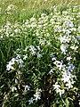 Saponaria officinalis sl13.jpg
