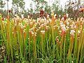 Sarracenia leucophylla plants.jpg