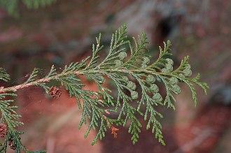 Chamaecyparis pisifera - Image: Sawara Falsecypress Chamaecyparis pisifera Sprig 3008px