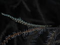 Sawblade Shrimp (Tozeuma armatum).jpg