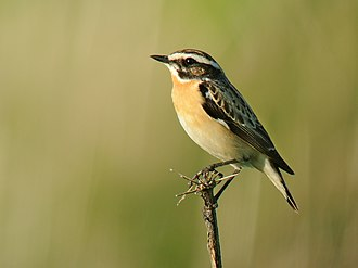 Whinchat - Adult male in breeding plumage in Belgium