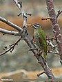 Scaly-bellied Woodpecker (Picus squamatus) (16528376656).jpg