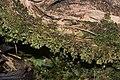 Scapania umbrosa (b, 145615-473710) 9105.JPG