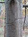 Scarlet Oak (30961342211).jpg
