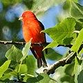 Scarlet Tanager (4609158803).jpg