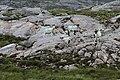 Schafe auf Gletscherschliff, Harris.jpg