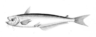 <i>Schilbe</i> genus of fishes