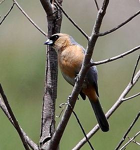 Schistochlamys ruficapillus ruficapillus - Cinnamon Tanager (male).JPG