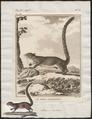 Sciurus aestuans - - Print - Iconographia Zoologica - Special Collections University of Amsterdam - UBA01 IZ20400083.tif