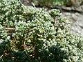 Scleranthus perennis inflorescence (04).jpg