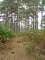 Scots pine north of Church Place, Thorn Hill, New Forest - geograph.org.uk - 251848.jpg