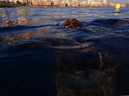A sea turtle emerging out of the water off Tyre's Southern bay with the modern skyline in the background SeaTurleTyre-RomanDeckert11092019.jpg