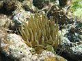 Sea Anemone (5295756134).jpg