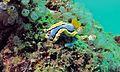 Sea Slug (Chromodoris annae) (6086137855).jpg