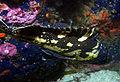 Sebastes chrysomelas 2.jpg