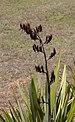 Seed pods of New Zealand flax (Phormium tenax) T2i IMG 101 5940.jpg