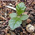 Seedling cotyledons small.jpg