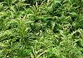 Selaginella burgeffii.JPG