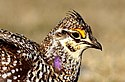 Sharp-Tailed Grouse (25759427000).jpg