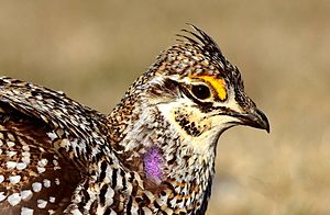 Sharp-tailed grouse - Close-up of a male sharp-tailed grouse.