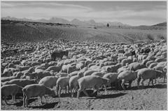 "Sheep ""Flock in Owens Valley, 1941."", 1941 - NARA - 519952.tif"